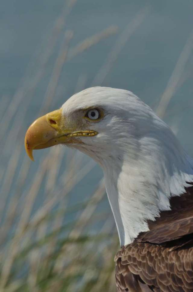 Eagle portrait