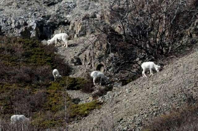 Dall sheep ewes and lambs