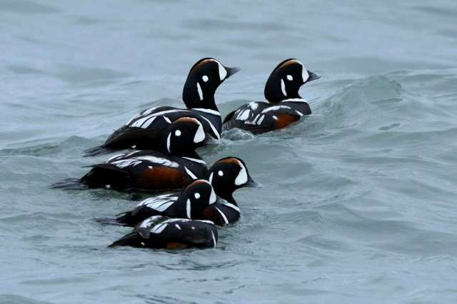 Ducks floating on Resurrection Bay at Seward, AK.