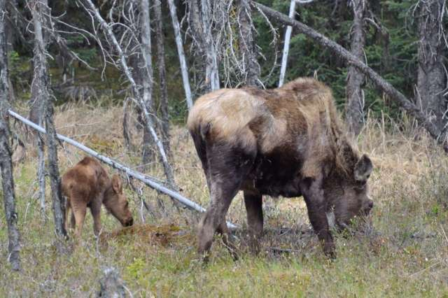 Moose & Calf imitating momma.