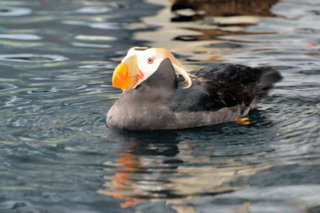 Another kind of puffin