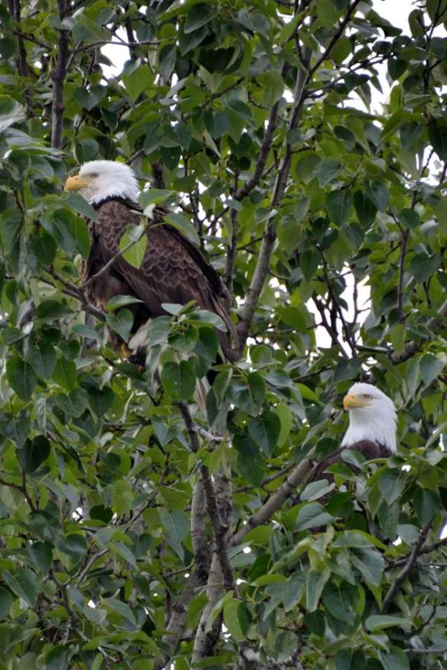 Two American Bald Eagles sharing a tree.