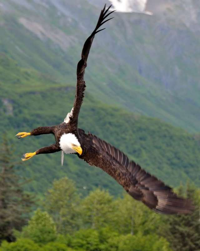 Alaska Bald Eagle Making a Turn
