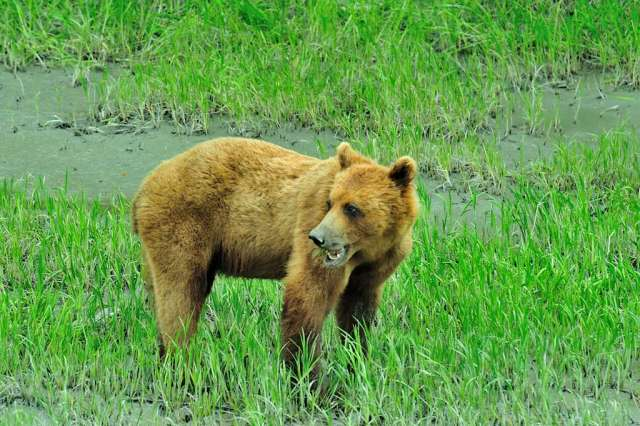 Alaskan Brown Bear (grizzly to us)