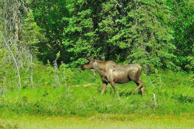 A bull moose approaching a lake.