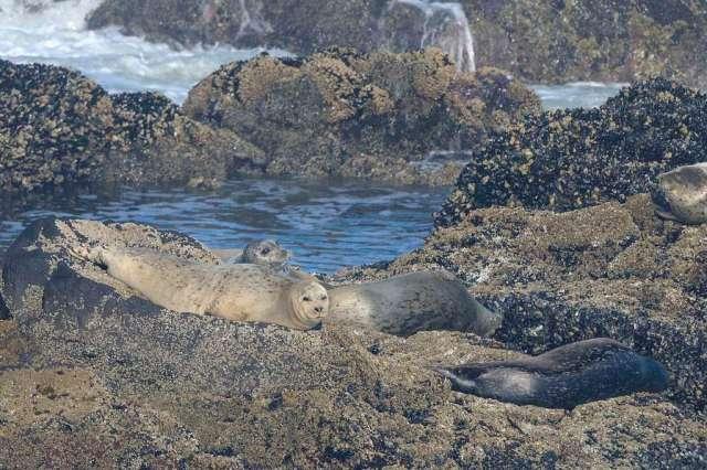 Seals from Strawberry Hill, Oregon