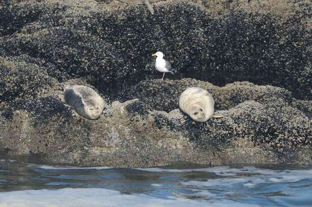 Spotted Seals with a gull