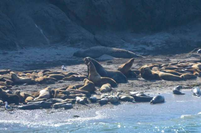 Sea Lions and Harbor Seals resting on an Oregon rock beach.