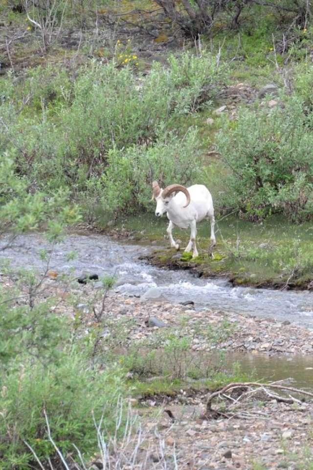 Dall Sheep ram crossing a creek.