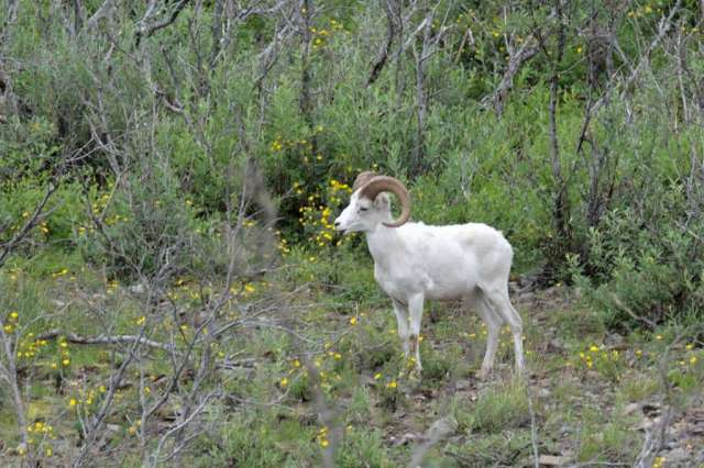 Dall ram in the valley surrounded by flowers.
