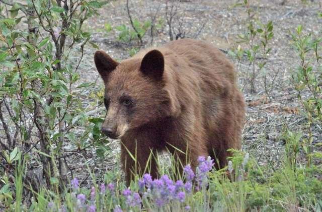 Bear, brown colored black bear we believe.