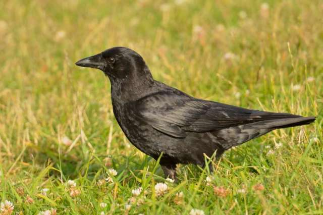 Raven in wildflowers
