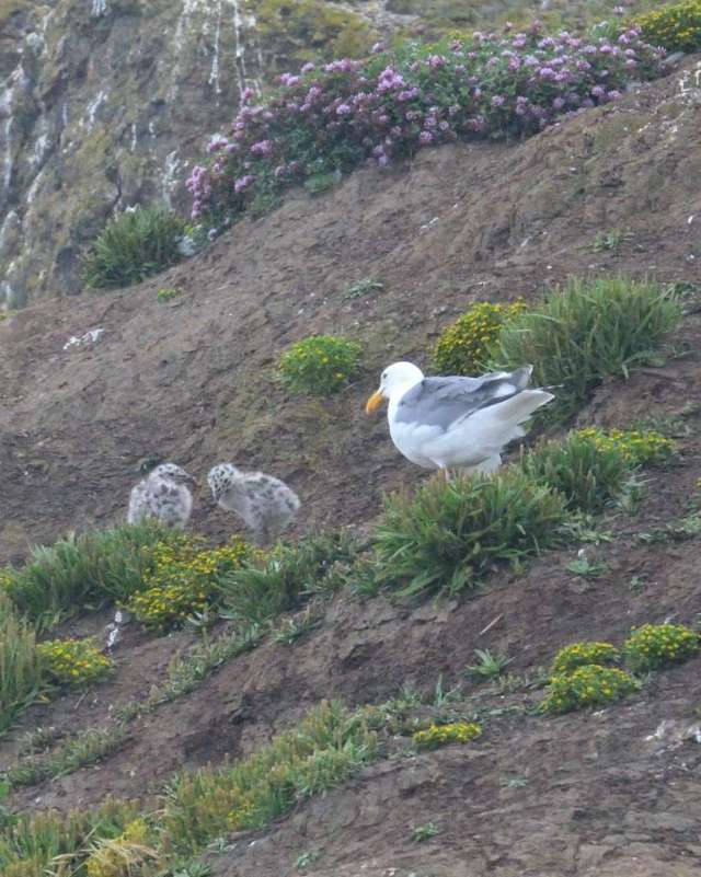 Western Gull with two chicks
