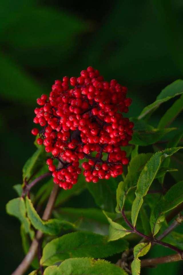 Wild Elderberry