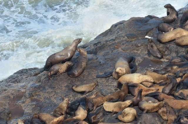 Sea Lions colony