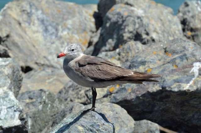 We have not identified this gray gull-like bird