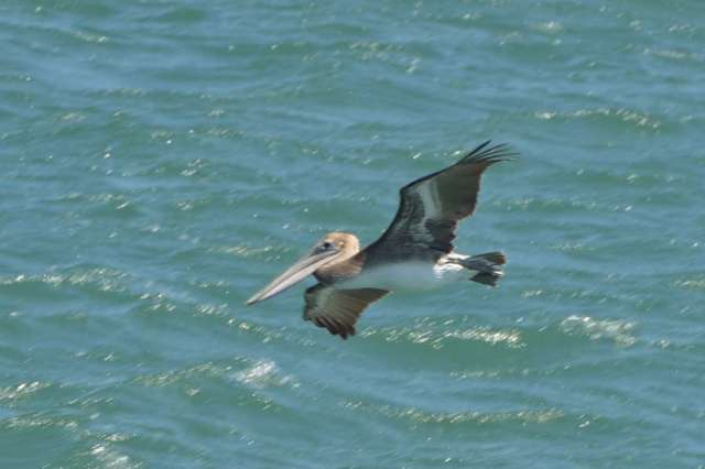 A brown pelican looking for lunch