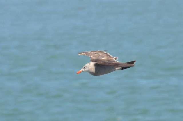 An immature Heermans Gull in flight