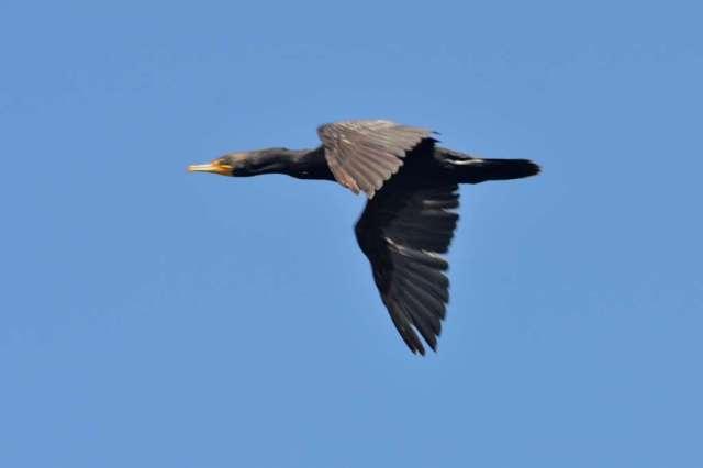 A pelagic cormorant in flight