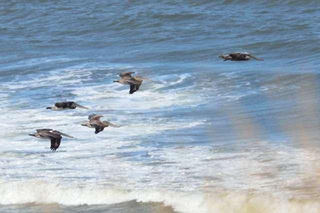 Pelicans seen through the shore grasses