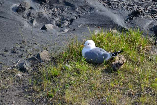 Gull with chicks in Denali National Park.