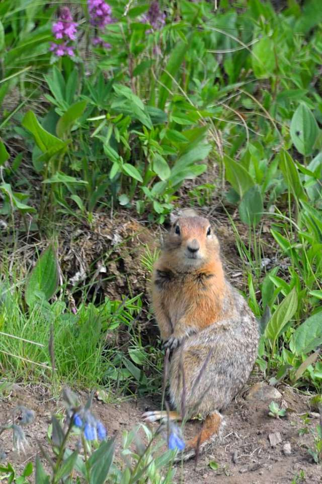 Arctic Ground Squirrel, welcomes visitors to Eilson Visitor Center