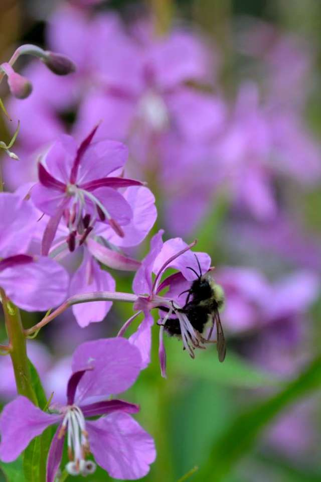 Bumblebee on Fireweed