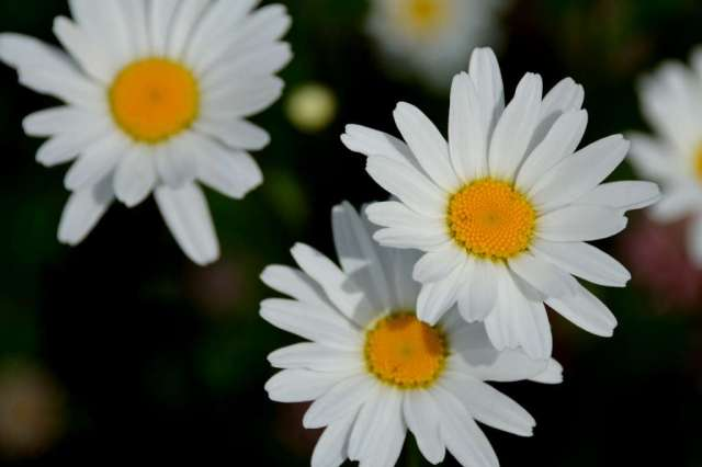 Alaska also has wild daisies