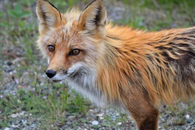 Close up of a Cross Fox.