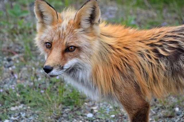 Close up of a Cross Fox.