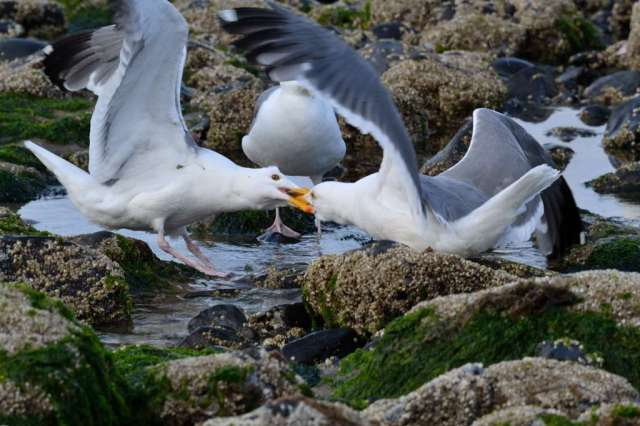 Two Western Gulls fighting