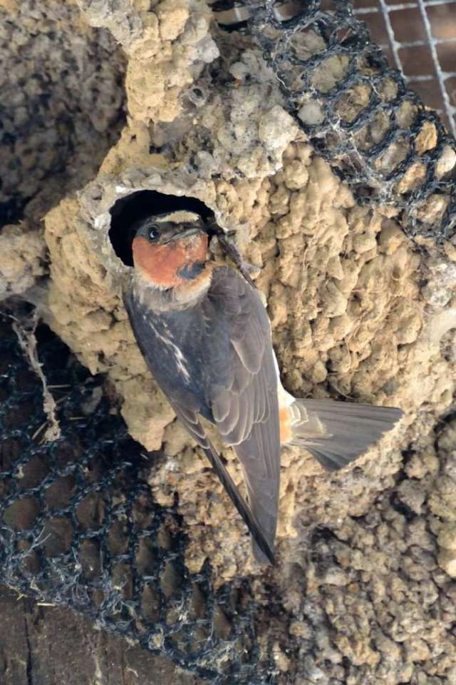 Cliff swallow at nest after feeding chicks