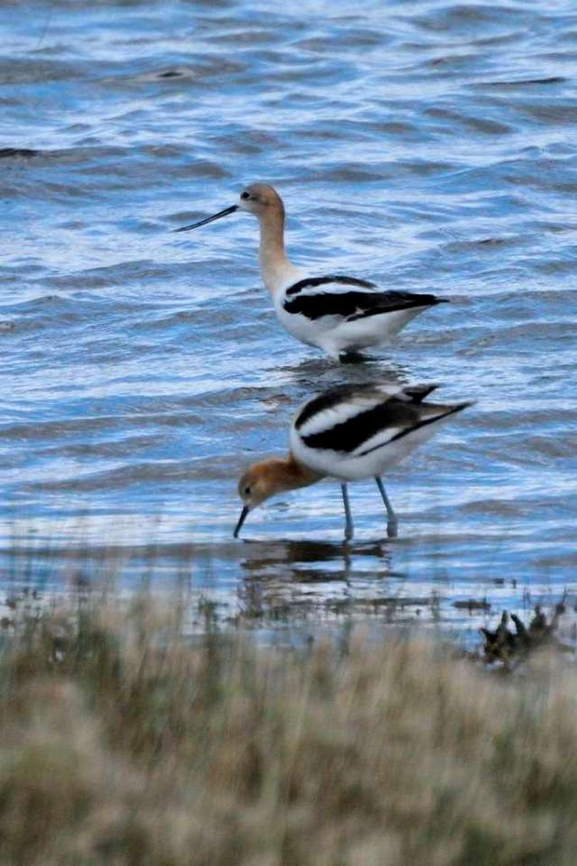 Pair of American Avocets