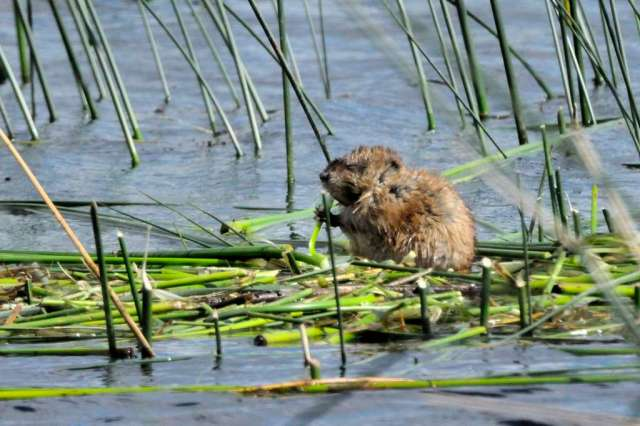 Muskrat having lunch