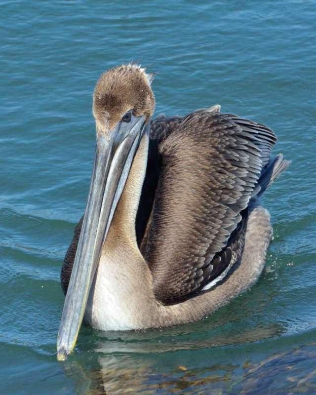 Brown pelican close up