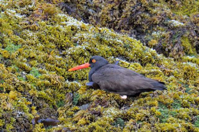 Oystercatcher on the reef