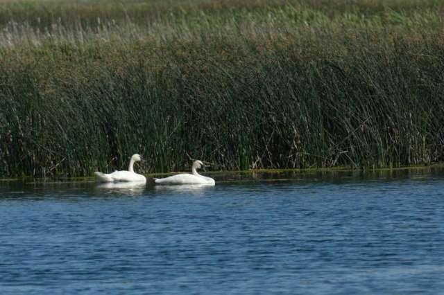 Trumpeter swans at Camas NWR in Idaho