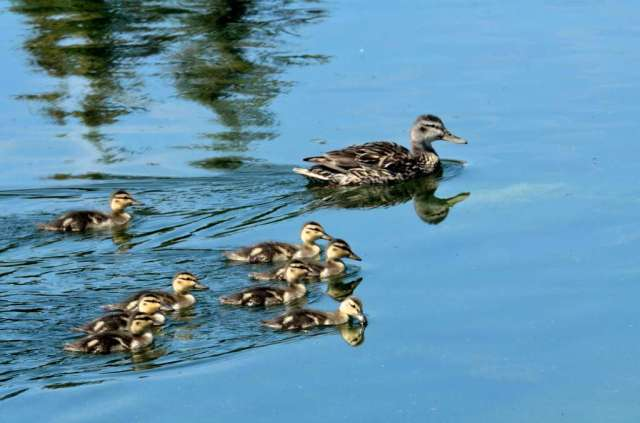 Another image of the Pintail and part of her ducklings