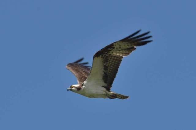 Osprey in flight near Oxbow Bend, WY