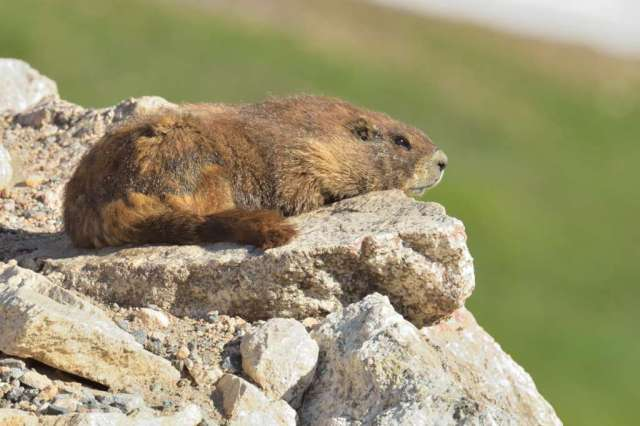 A marmot enjoying the morning sun