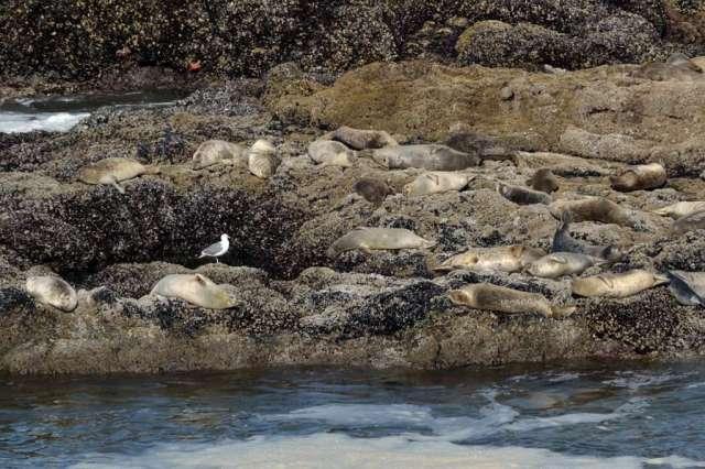 Harbor seals on the rocks