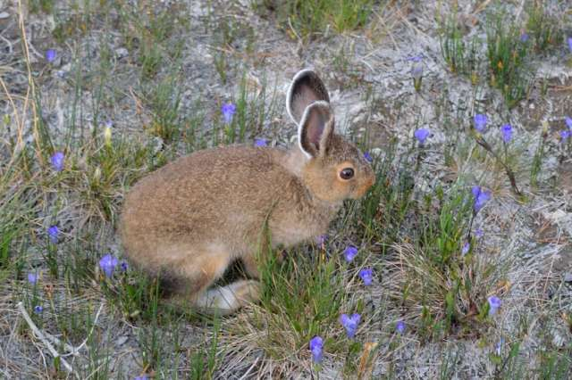 A photogenic snowshoe hare in summer dress at Yellowstone NP