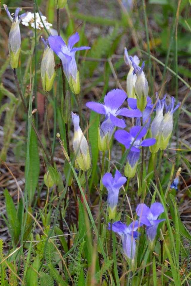 Wildflowers in Yellowstone NP