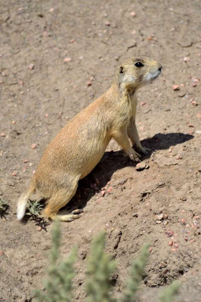 White-tailed Prarie Dog near its den