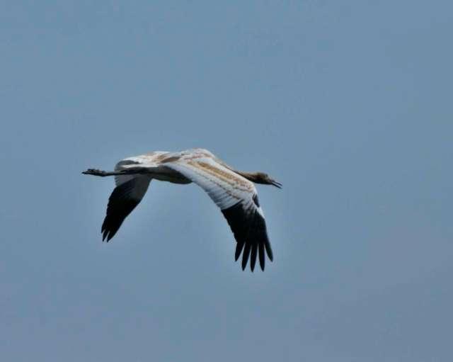 Immature whooping crane in flight