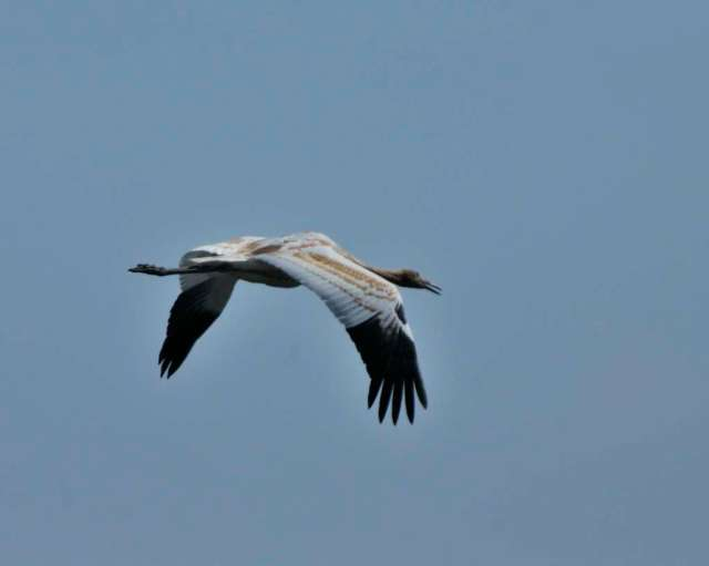 Immature whooping crane in flight
