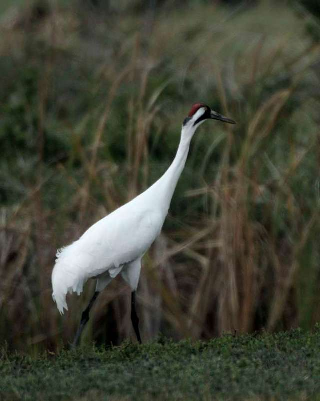 Mature whooping crane, imaged in Texas