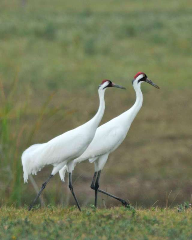 Pair of mature whooping crane, imaged in Texas