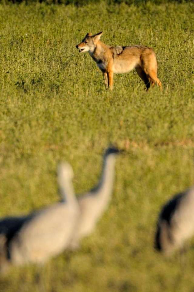 Coyote and sandhill cranes in Bosque del Apache, NM
