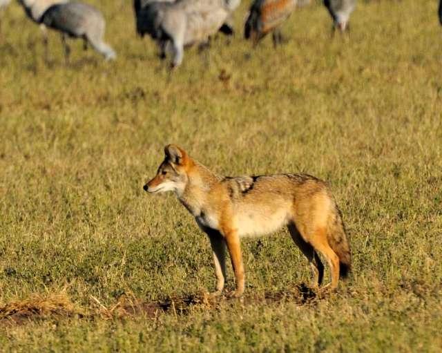 Coyote and sandhill cranes in Bosque del Apache, NM
